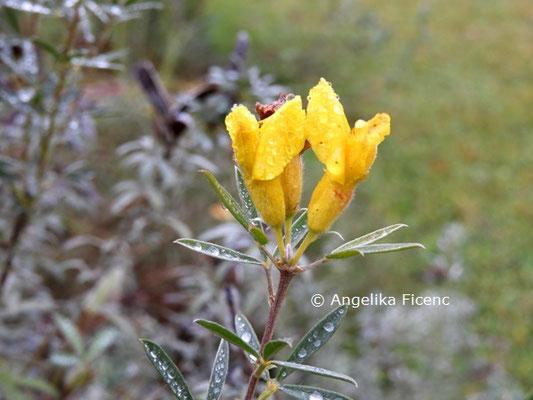 Chamaecytisus austriaca  © Mag. Angelika Ficenc