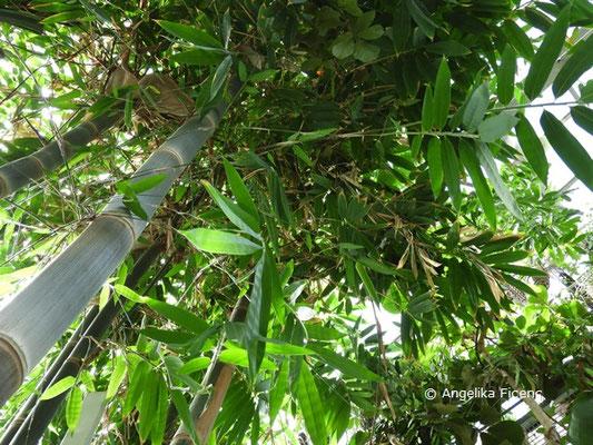 Dendrocalamus giganteus, Riesenbambus