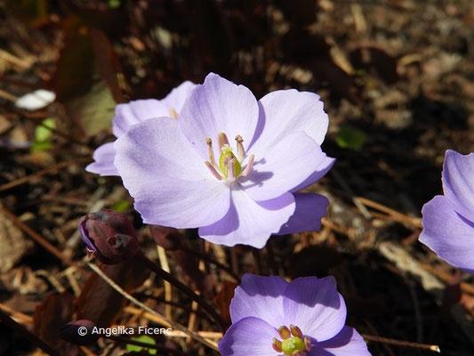 Jeffersonia dubia (Syn. Plagiorhema dubium) - Herzblattschale  © Mag. Angelika Ficenc