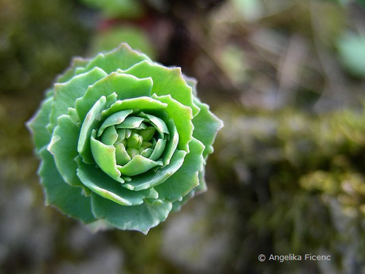 Sedum ishidae - Fetthenne    © Mag. Angelika Ficenc