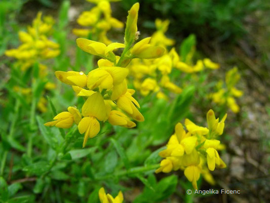 Genista germanica - Deutscher Ginster