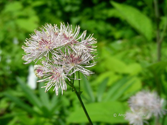 Thalictrum aquilegifolium, Blütenstand