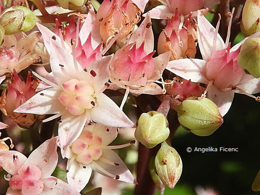 Nitraria sibirica  © Mag. Angelika Ficenc