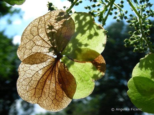 Hydrangea aspera - Raue Hortensie, sterile Blüte verblüht