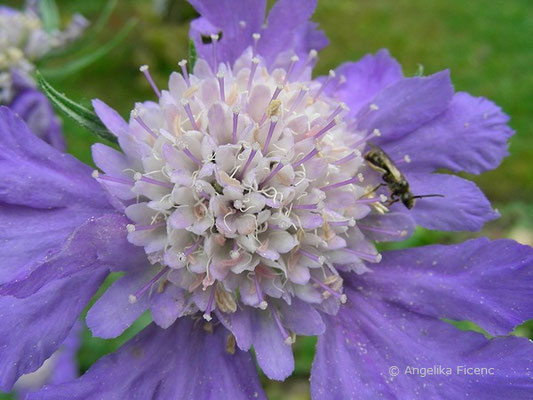 Lomelosia caucasica - Kaukasus Grasskabiose,   © Mag. Angelika Ficenc