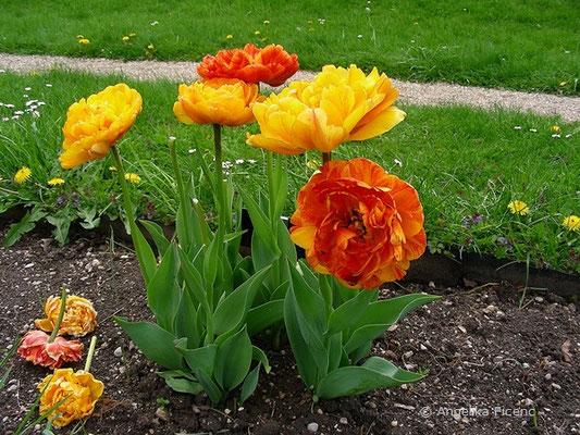 Tulipa Sun Lover