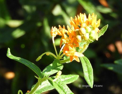 Asclepias verticilliata, Blütenstand  © Mag. Angelika Ficenc
