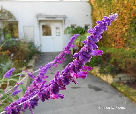 """Salvia leucantha """"Midnight"""" - Strauchiger Salbei, Blütenstand  © Mag. Angelika Ficenc"""