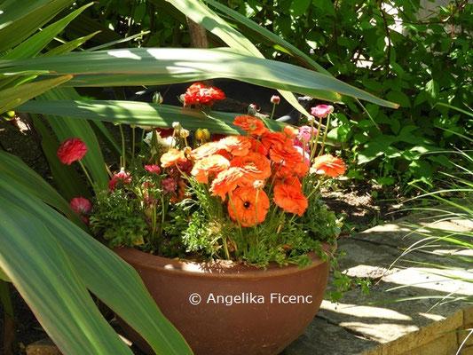 Ranunculus asiaticus  ©Mag. Angelika Ficenc