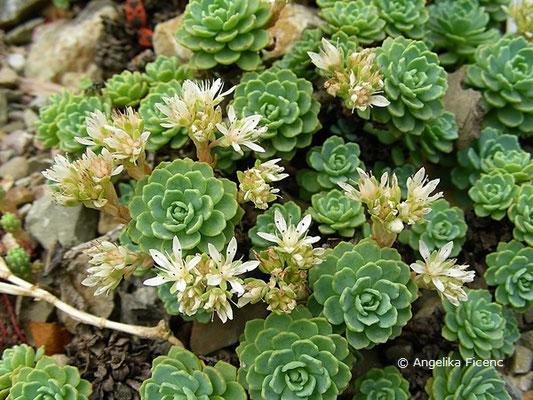 Rhodiola pachyclados - Rosenwurz