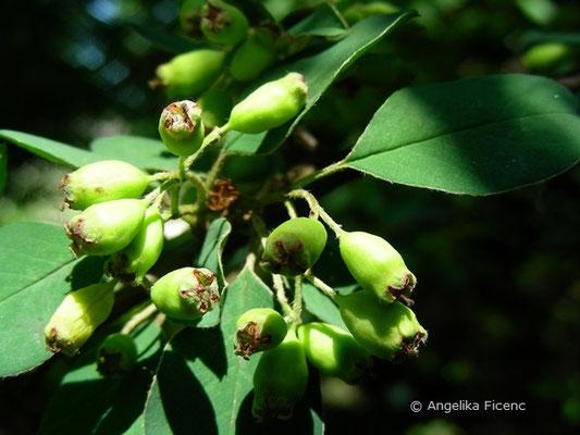 Cotoneaster heliophyllum - unreife Früchte