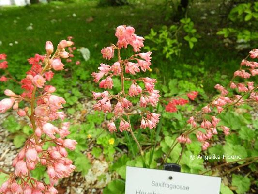 Heuchera sanguinea - Blut-Purpurglöckchen, Blütenstand  © Mag. Angelika Ficenc