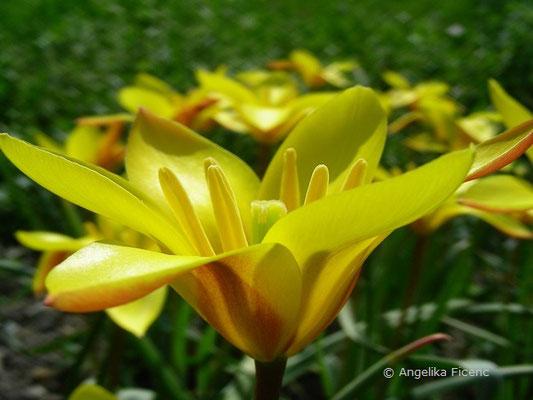 Tulipa clusiana  © Mag. Angelika Ficenc
