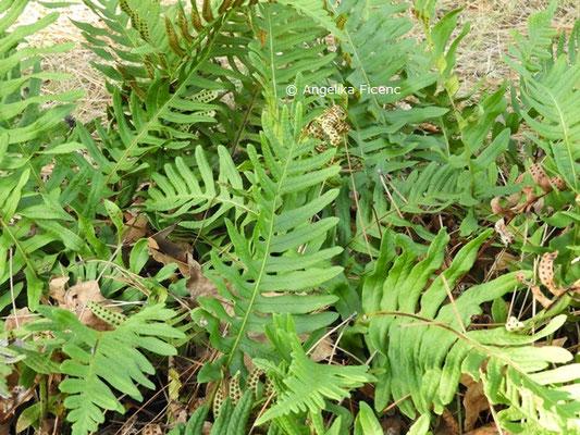 Polypodium vulgare  © Mag. Angelika Ficenc