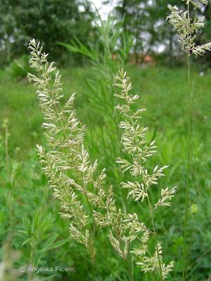 Koeleria macrantha - Zierliches Schillergras