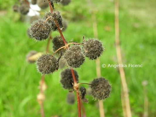 Urtica pilulifera © Mag. Angelika Ficenc