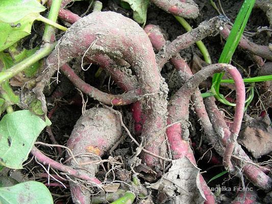 Ipomea batatas - Süßkartoffel    © Mag. Angelika Ficenc