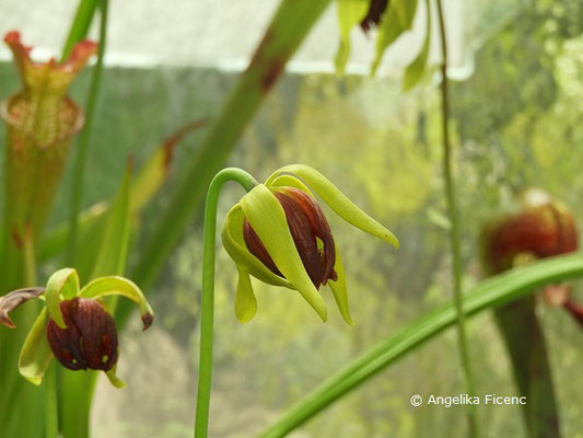 Darlingtonia californica - Kobralilie, Blüte  © Mag. Angelika Ficenc