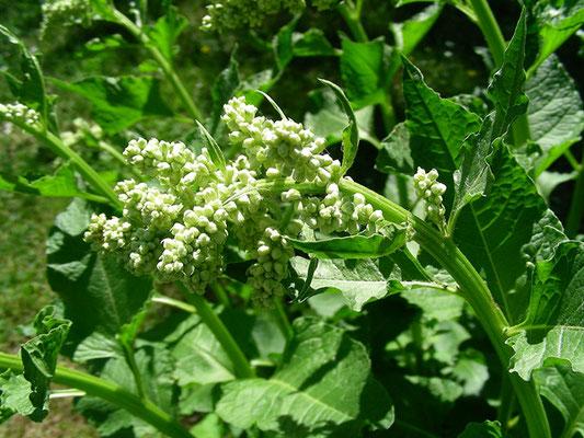Beta trigyna - Dreinarben-Runkelrübe, Blütenstand mit Knospen