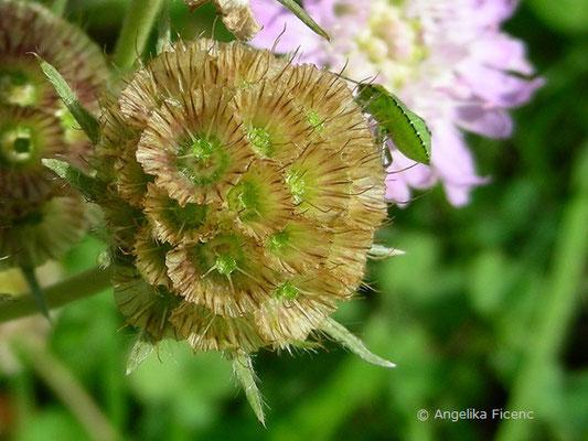 Lomelosia graminifolia - Südalpen Grasskabiose