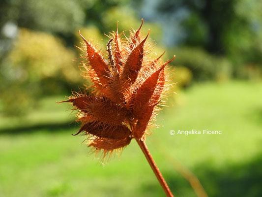 Glycyrrhiza yunnanensis  © Mag. Angelika Ficenc