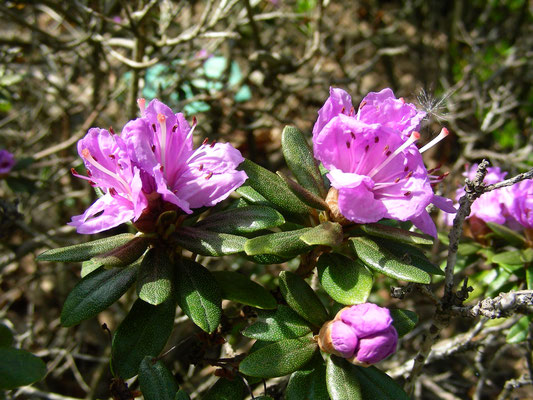 Rhododendron impetitum  © Mag. Angelika Ficenc