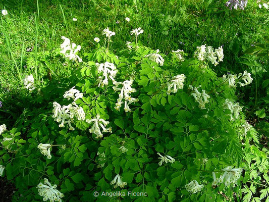 Pseudofumaria alba  / Synonym Corydalis alba - Scheinlerchensporn
