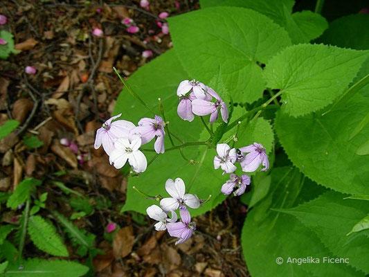 Lunaria redivia - Ausdauerndes Silberblatt, Blütensdtand