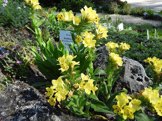Arnebia pulchra - Prophetenblume  © Mag. Angelika Ficenc