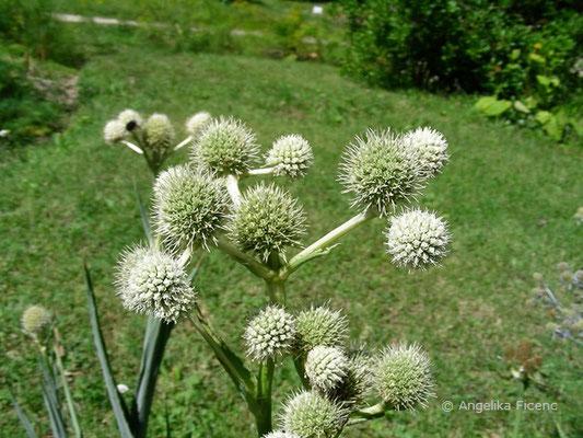 Eryngium yuccifolium - Yuccablättrige Mannstreu  © Mag. Angelika Ficenc