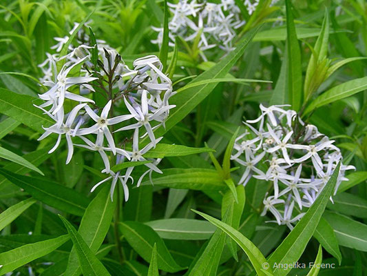 Amsonia illustris - Helle Amsonie, Blütenstände