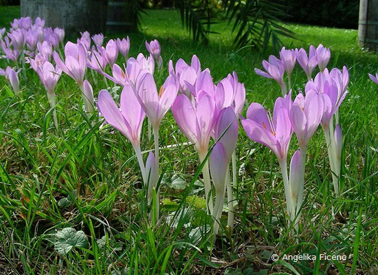Colchicum speciosum - Prächtige Herbstzeitlose    © Mag. Angelika Ficenc
