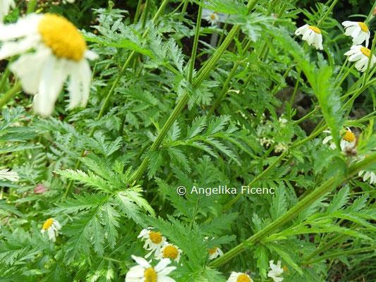 Tanacetum corymbosum ssp. corymbosum  © Mag. Angelika Ficenc