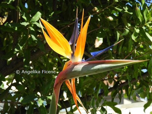 Strelitzia regina  © Mag. Angelika Ficenc
