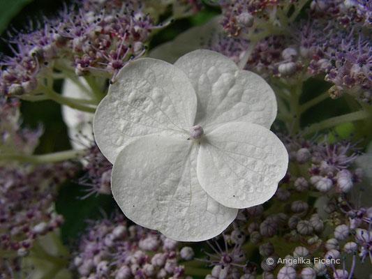 Hydrangea aspera - Raue Hortensie, sterile und fertile Blüten