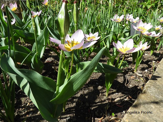 "Tulipa ""the First"", Kaufmanniana Tulpe  © Mag. Angelika Ficenc"