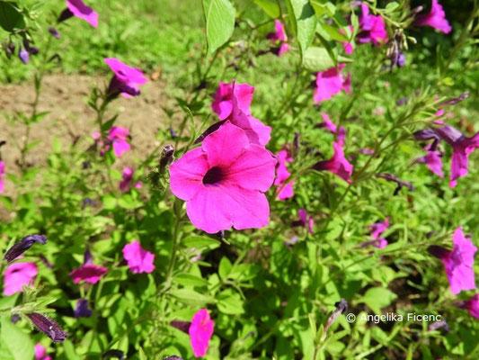 Petunia integrifolia  © Mag. Angelika Ficenc