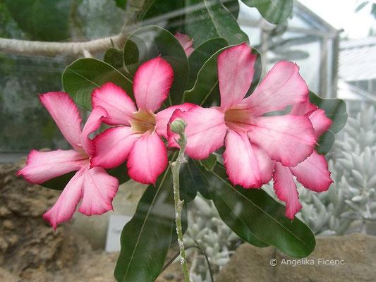 Adenium obesum, Blüten  © Mag. Angelika Ficenc