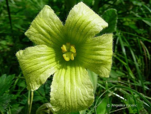 Ecballium elaterium - Spritzgurke, Blüte