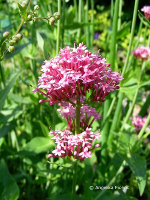 Kentranthus ruber - Spornblume