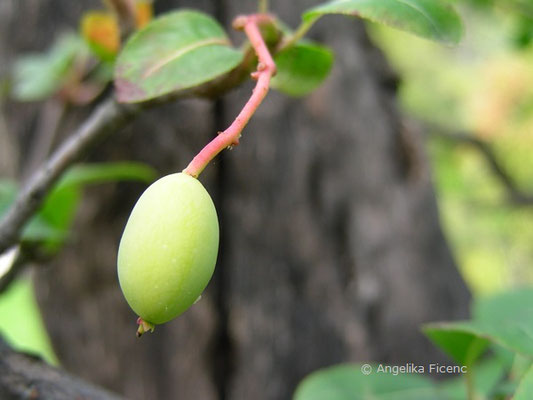 Viburnum prunifolium - Kirschblättriger Schneeball, unreife Frucht