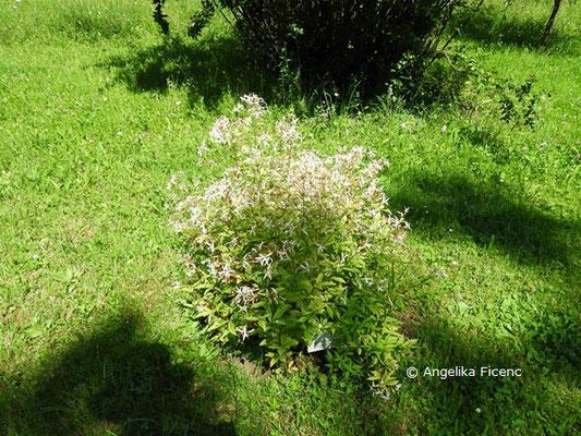 Gillenia trifoliata     © Mag. Angelika Ficenc