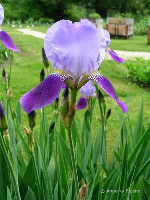 Iris macedonia