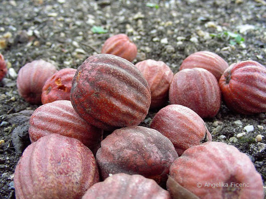 Taschentuchbaum - Davidia involucrata, Früchte