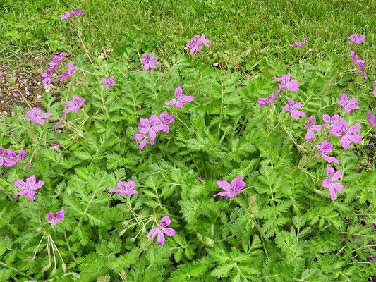 Erodium manescavi - Pyrenäen-Reiherschnabel, Habitus