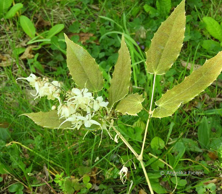Epimedium latisepalum - Elfenblume  © Mag. Angelika Ficenc