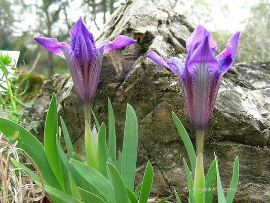 Iris pumila - Zwerg Iris, Aufgehende Blüten   © Mag. Angelika Ficenc