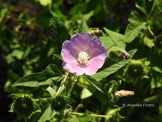 Anoda cristata, Blüte