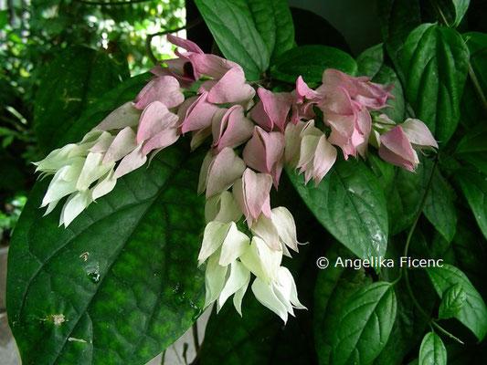 Clerodendrum thomsonie © Mag. Angelika Ficenc