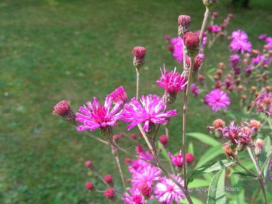 Veronia crinita